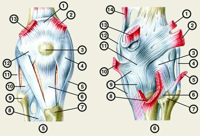 круговая связка коленного сустава