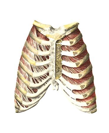 грудино реберный сустав