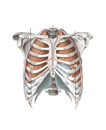 Части плевральной полости в виде острого угла между двумя париетальными листками называют плевральными синусами...