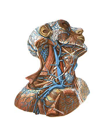 Название мышц человека в картинках с подробным 15
